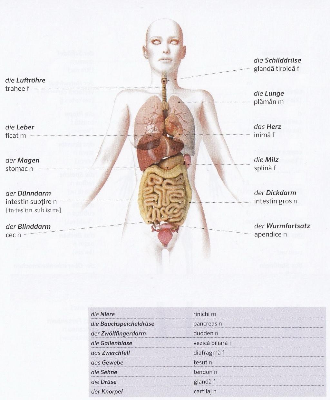 Groß Weibliche Innere Organe Bilder Zeitgenössisch - Physiologie Von ...